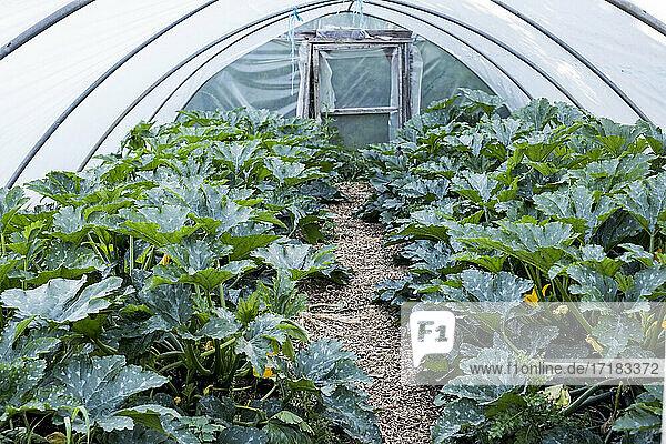 Reihen von Zucchinipflanzen  die in einem Polytunnel wachsen.