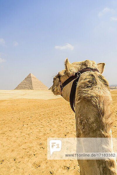 Camel at Giza  a pyramid in the background on the outskirts of Cairo.