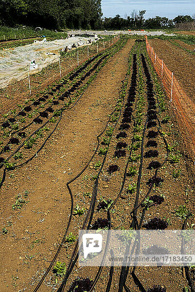 High angle view of irrigation hose running along rows of young vegetables on a farm.