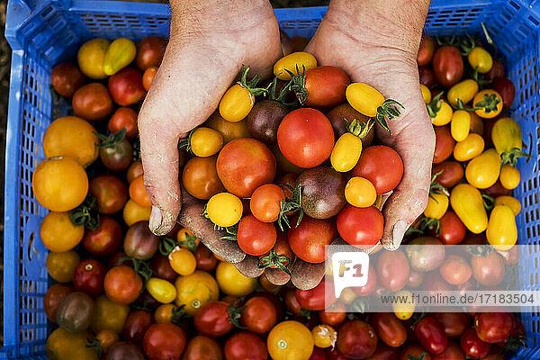 Hohe Winkel Nahaufnahme von Person hält Strauß frisch gepflückter Kirschtomaten.