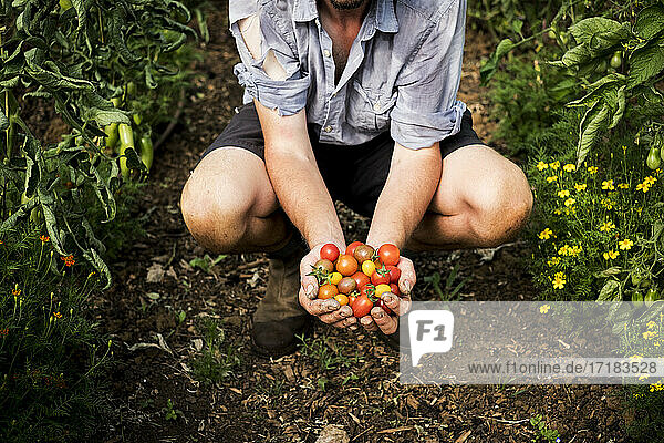 High angle close up of person holding bunch of freshly picked cherry tomatoes.