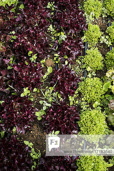 High angle close up of selection of salad leaves growing in a field.