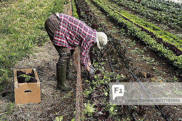 Man harvesting salad leaves on a farm.