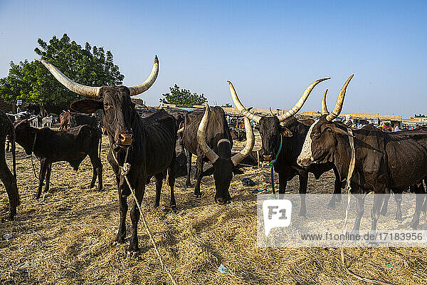 Cows with huge horns  Animal market  Agadez  Niger  Africa