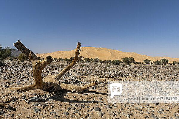 Crab's claw Arakao sand dune  Tenere Desert  Sahara  Niger  Africa