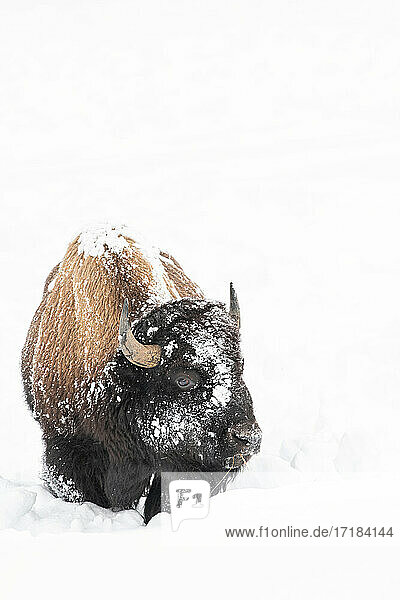 Vertical of American Bison (Bison bison)  covered in snow  Montana  United States of America  North America