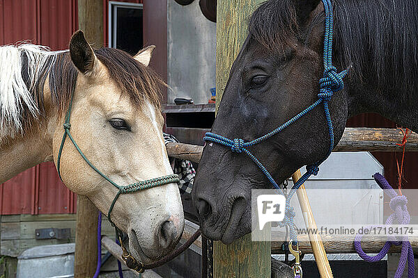 Horses nuzzling at a stable in Merritt  British Columbia  Canada  North America