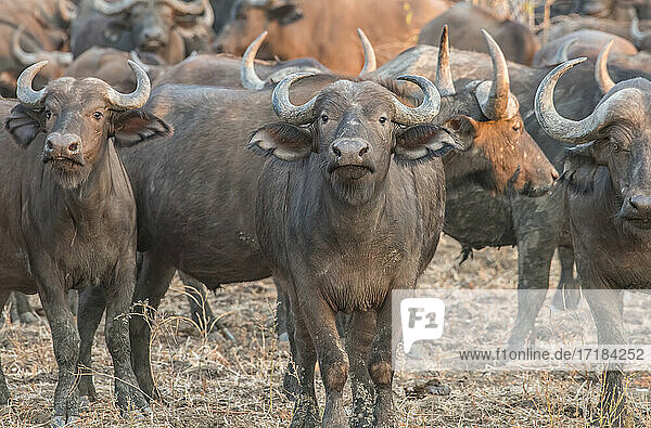 Herd of buffalo (Syncerus caffer)  on alert  South Luangwa National Park  Zambia  Africa