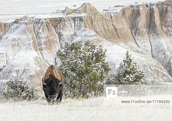 American Bison (Bison Bison) in the snow in the Badlands  Badlands National Park  South Dakota  United States of America  North America