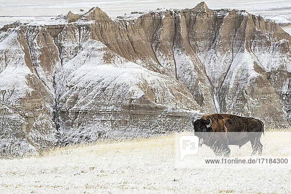 Profile of American Bison (Bison Bison) in the snow in the Badlands  Badlands National Park  South Dakota  United States of America  North America