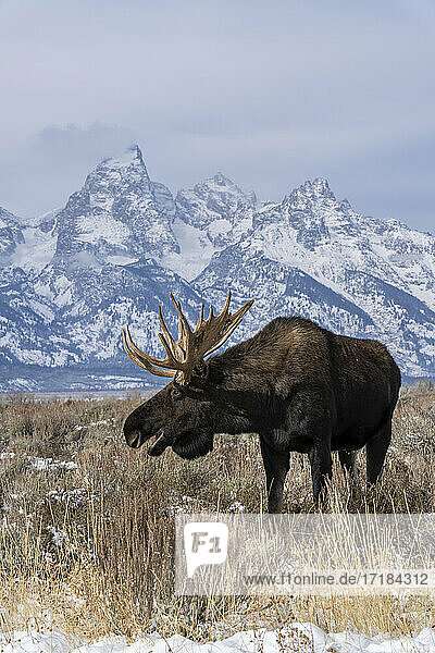 Vertical of bull moose (Alces alces)  in front Grand Teton peak  Grand Teton National Park  Wyoming  United States of America  North America