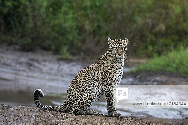 Leopard (Panthera pardus)  Seronera  Serengeti National Park  Tanzania  East Africa  Africa