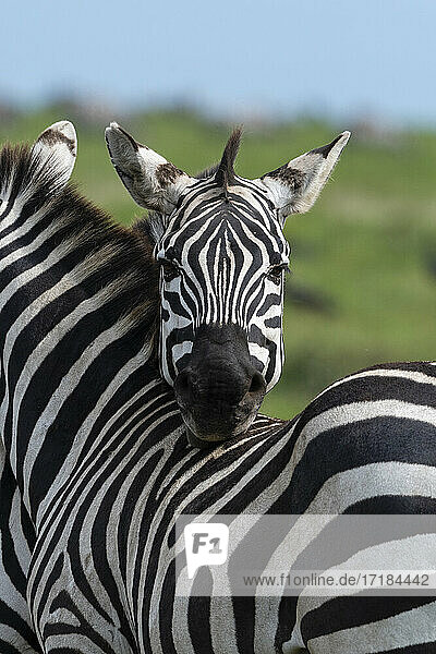 Plains zebras (Equus quagga)  Ndutu  Ngorongoro Conservation Area  Serengeti  Tanzania  East Africa  Africa