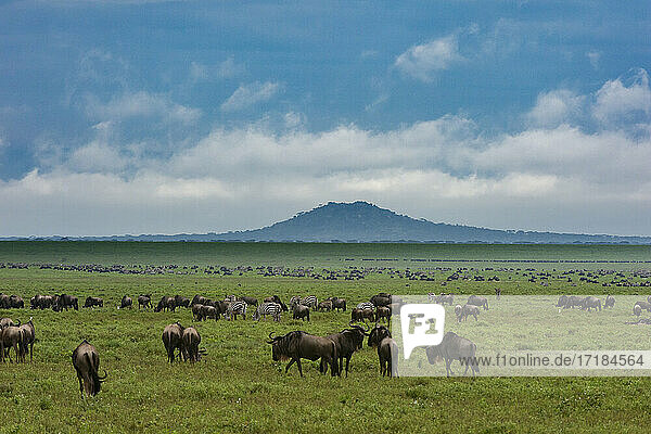 Wildebeests (Connochaetes taurinus) and plains zebras (Equus quagga) grazing  Ngorongoro Conservation Area  UNESCO World Heritage Site  Serengeti  Tanzania  East Africa  Africa