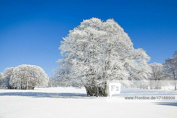 Große  tief verschneite Buche bei blauem Himmel im Neuenburger Jura  Schweiz  Europa