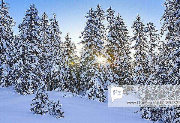 Verschneiter Fichtenwald  Schweiz  Europa