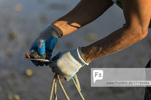 Close-up of hands measuring oyster shell with oyster guage