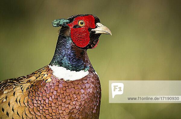 A colourful male pheasant posing on farmland