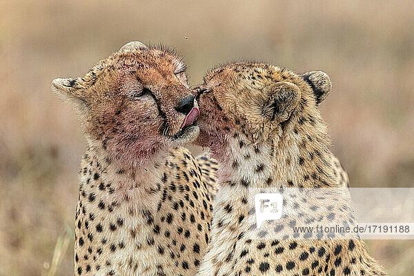 Cheetah from the African Savanah  Kenya