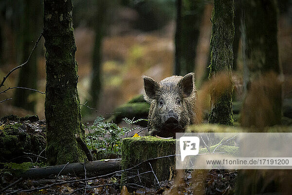 Ein Wildschwein tief im Wald