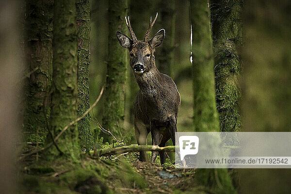 Ein männlicher Rehbock steht im Wald und schaut in die Kamera
