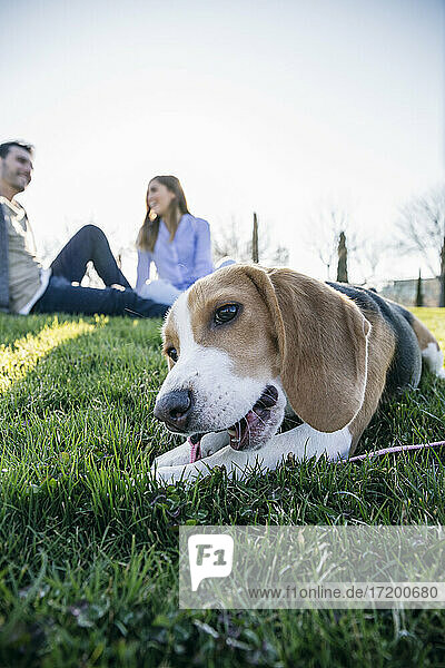 Dog biting leash while sitting on grass with couple in background at park