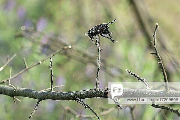 Feldgrille (Gryllus campestris) aufgespießt vom Neuntöter  Nordrhein-Westfalen  Deutschland  Europa