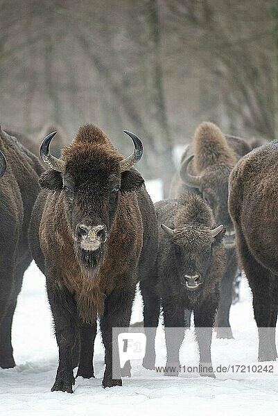 Wisent (Bison bonasus) in der Borkener Heide  Masuren  Polen  Europa