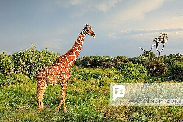 Netzgiraffe (Giraffa reticulata)  Samburu National Reserve  Kenia  Afrika