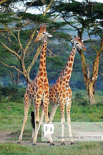 Rothschildgiraffen (Giraffa camelopardalis rothschildi)  Kampf  Lake Nakuru  Kenia  Afrika