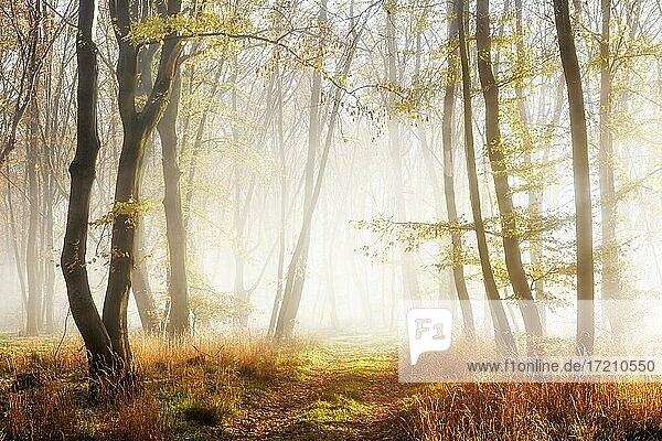 Wanderweg durch Wald im Spätherbst  Sonne strahlt durch Morgennebel  bei Freyburg  Sachsen-Anhalt  Deutschland  Europa