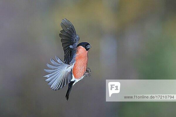 Dompfaff (Pyrrhula pyrrhula)  Gimbel Männchen im Flug  Nordrhein-Westfalen  Deutschland  Europa