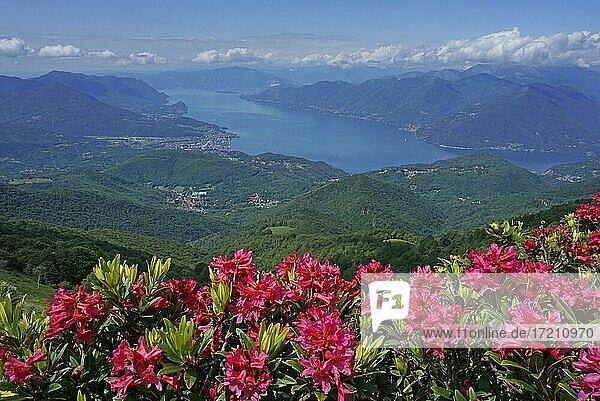 Rosarote blühende Azalee  Rhododendron obtusum  über dem Lago Maggiore  Monte Lema  Luino  Lago Maggiore  Lombardei  Italien  Europa