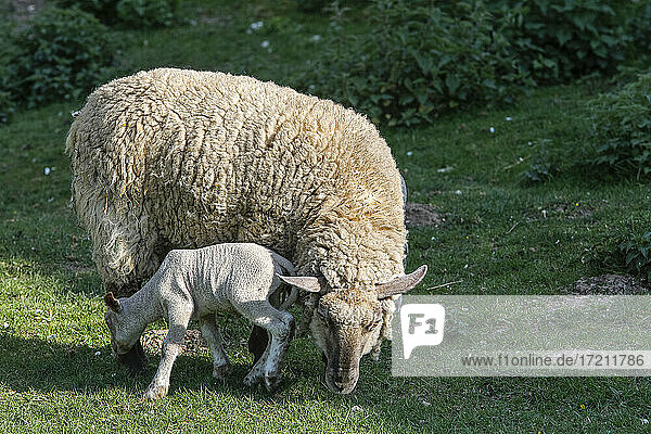 Ewe and lamb in normandy france
