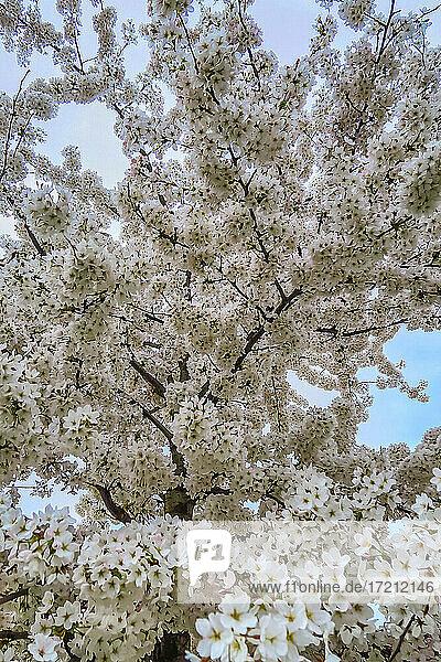 Kirschblüte frankreich europa