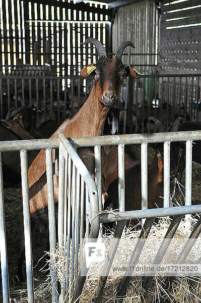 Ziegenzucht und Herstellung von Bio-Produkten aus Ziegenmilch Ziegenzucht und Herstellung von Bio-Produkten aus Ziegenmilch