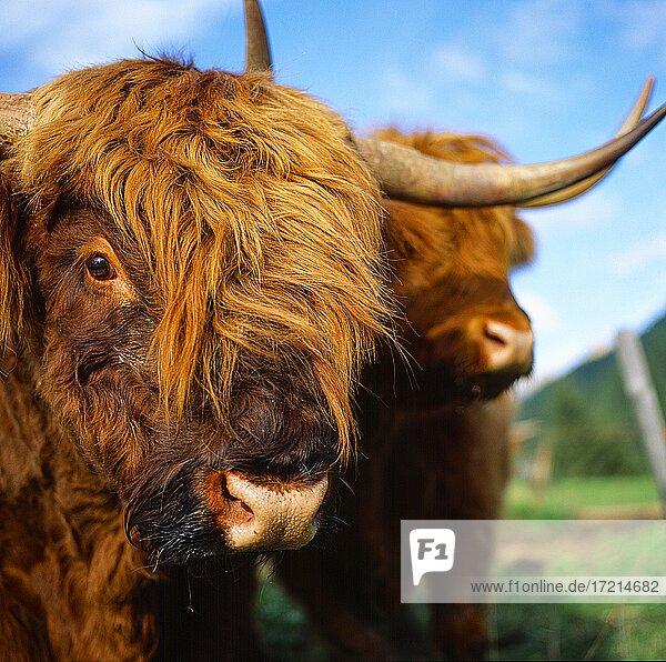 Tiere Schottische Hochlandrind|Animals  Highland Cattle  Kyloe  Bò Ghàidhealach
