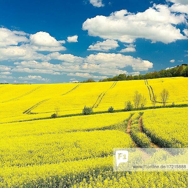 Blühendes Rapsfeld unter blauem Himmel mit Cumuluswolken  bei Freyburg  Burgenlandkreis  Sachsen-Anhalt  Deutschland  Europa