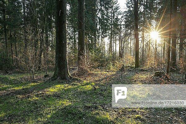 Fichtenwald (Picea abies) im Gegenlicht mit Sonnenstern  Thüringer Wald  Thüringen  Deutschland  Europa