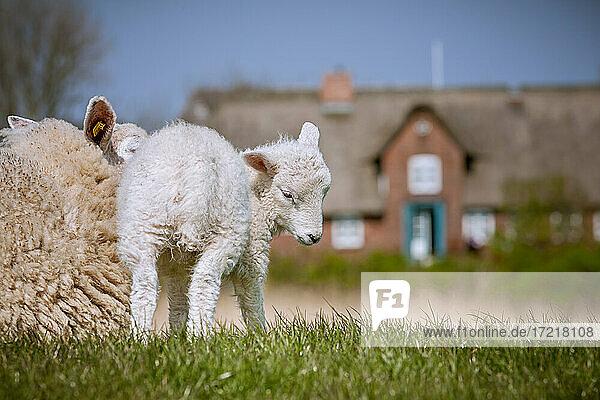 Mutter-Schaf liegt neben seinem niedlichen Lamm entspannt auf dem Deich in Morsum/Sylt in der Frühlingssonne. Im Hintergrund ein historischesFriesenhaus