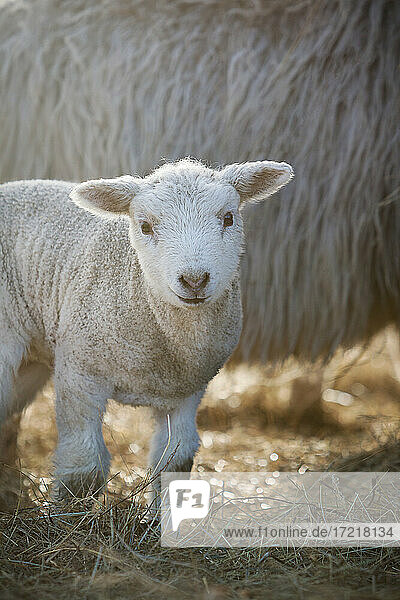 Wenige Tage altes Lamm steht vor dem Mutterschaf im Stroh