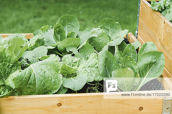 Cabbages planted in wooden crate at garden