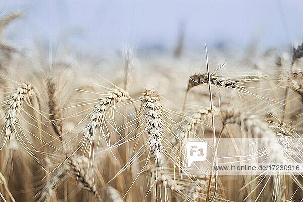 Weizen im Getreidefeld  Deutschland
