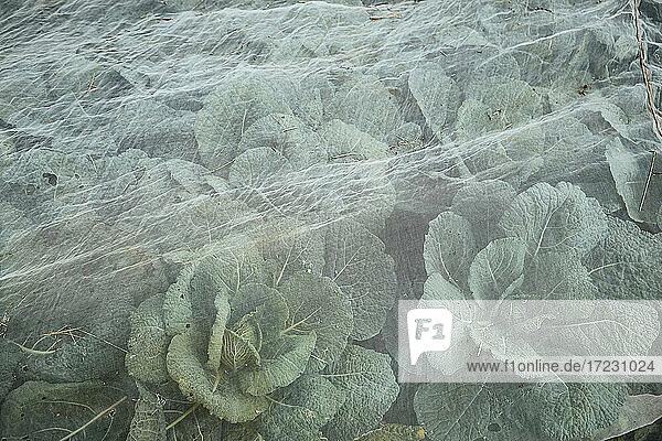 Wirsing unter Netzen auf dem Feld
