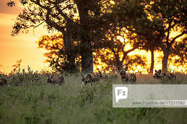 A pack of wild dogs  Lycaon pictus  walk through grass during sunset.