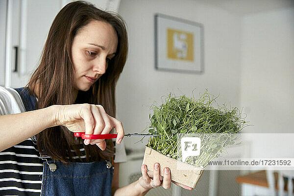 Frau  die mit einer Schere mikrogrüne Erbsensetzlinge erntet