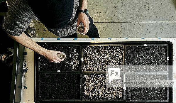 Mann pflegt Schalen mit Erbsensamen in einer städtischen Farm Mann pflegt Schalen mit Erbsensamen in einer städtischen Farm