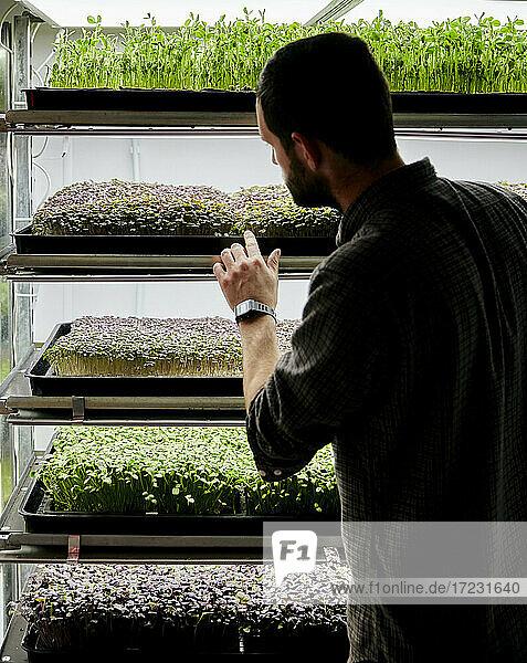 Trays mit Microgreens-Setzlingen  die in einer städtischen Farm wachsen