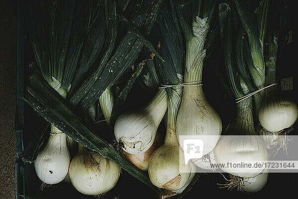 High angle close up of freshly picked white onions.