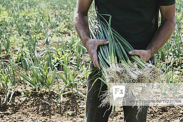 Farmer standing in a field holding freshly picked spring onions.